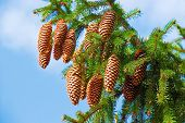 stock photo of view from space needle  - Macro view of pine tree with cones on sky background - JPG