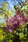 stock photo of lilac bush  - Blooming lilac bushes in the spring garden  - JPG