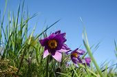 foto of rare flowers  - Pasque flower closeup at blue sky a low perspective image - JPG