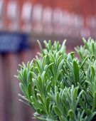 stock photo of lavender plant  - A young lavender plant growing outside in the garden with picket fence in background - JPG