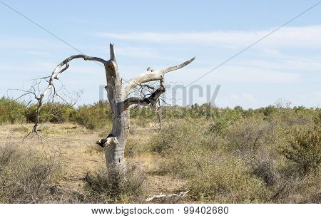 Dead Trees In The Desert