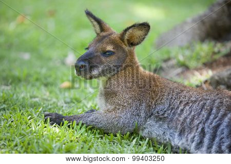 Wallaby Resting On Grass