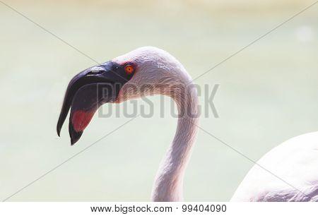 Lesser Flamingo, Open Beak