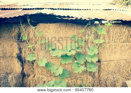 Winter Melon Leaf