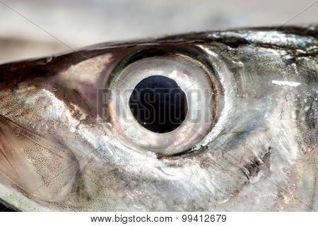 Fish Eye Mackerel  ,close-up