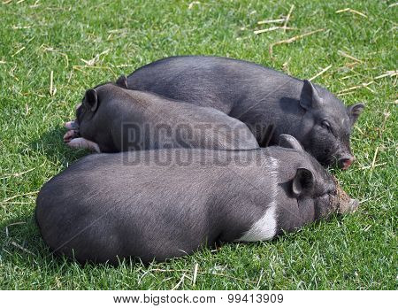 Group mini pigs on pasture