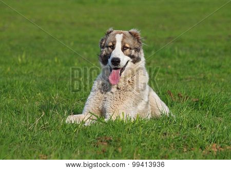 Portrait of central Asiatic  sheep dog