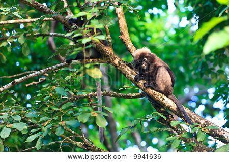 Dusky blad apen zitten In een boom