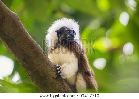 Tamarin cotton top monkey sitting in a tree