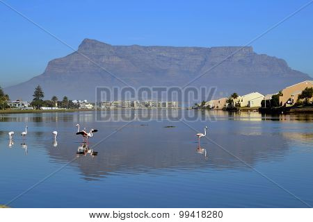 Flamingos in Cape Town