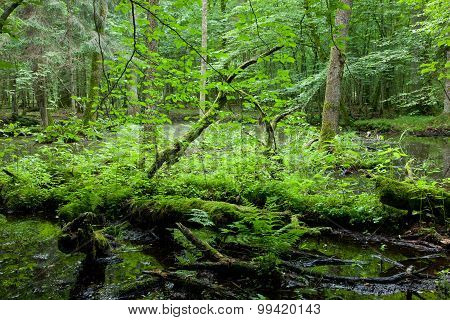 Springtime Deciduous Forest With Standing Water