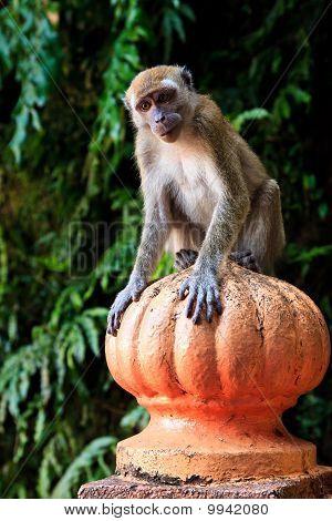 Makaak Monkey zittend op een pool