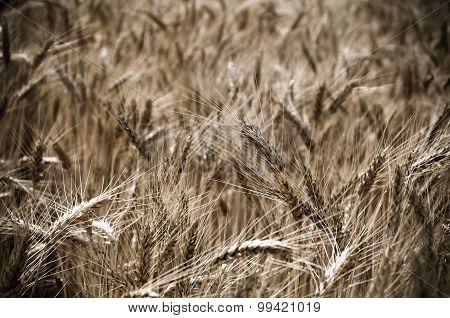 wheat field in the wind
