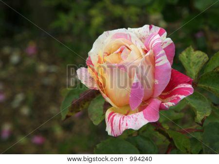 Striped Rose
