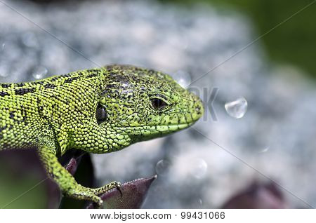 Sand Lizard (lacerta Agilis) Male Close Up
