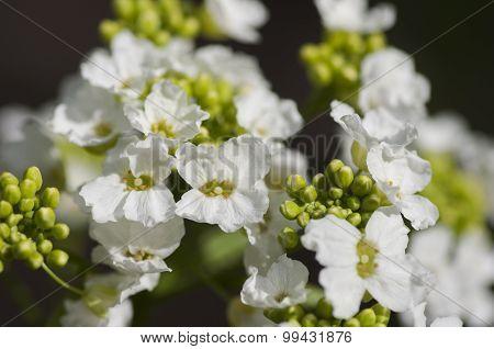 Blossoming Horseradish Plant