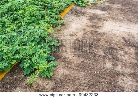 Sensitive Plant On The Road