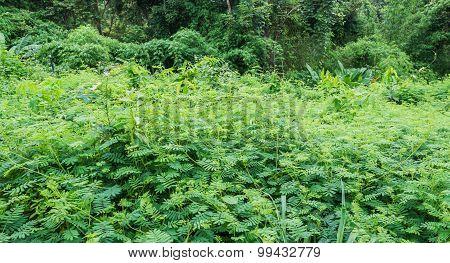 Sensitive Plant Forest