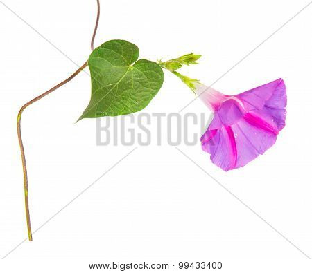 Morning Glory Purpurea Flowers On Isolated On White Background