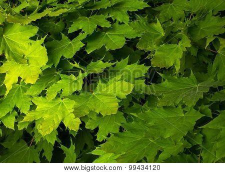 Maple Leaves Juicy Green