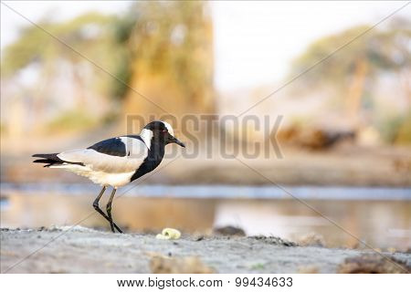 One Blacksmith Lapwing at Water Pool