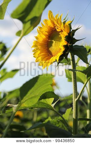 Sunflower In Field Basking In Sun