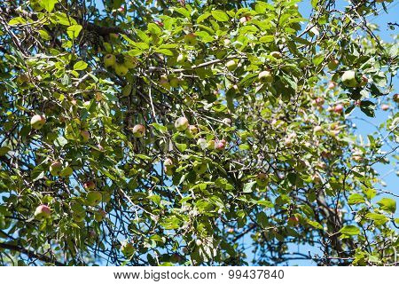 Tree Branch With Yellow And Pink Apples In Orchard