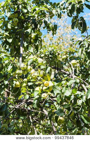 Green Tree Branch With Ripe Yellow Apple Fruits