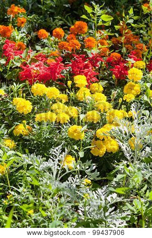 Yellow Dianthus Flowers On Green Flower Bed