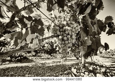 Vineyard Grapes In Black And White