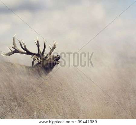 Elk Walking in Tall Grass