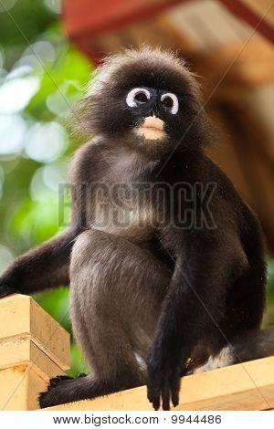Dusky blad Monkey zittend op een hek