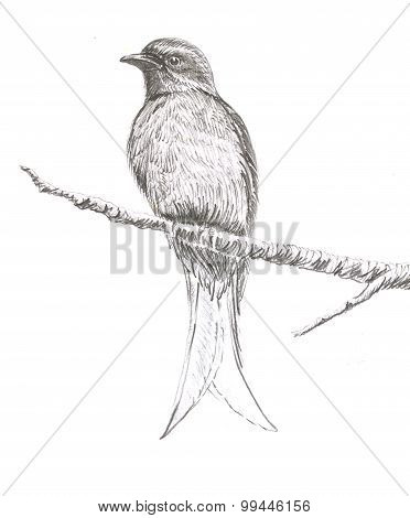 Ashy Drongo Bird Drawing