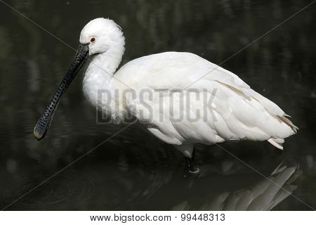 Eurasian spoonbill (Platalea leucorodia), also known as the common spoonbill. Wild life animal.