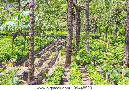 Guatemala Coffee Plantation