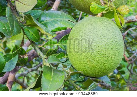Pomelo Or Grapefruit On The Tree.