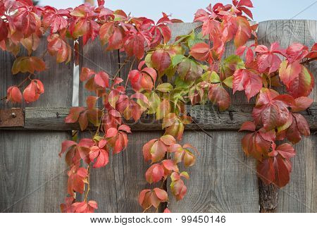 Colorful Autumnal Red Grape Leaves On Top Of Wood Fence.
