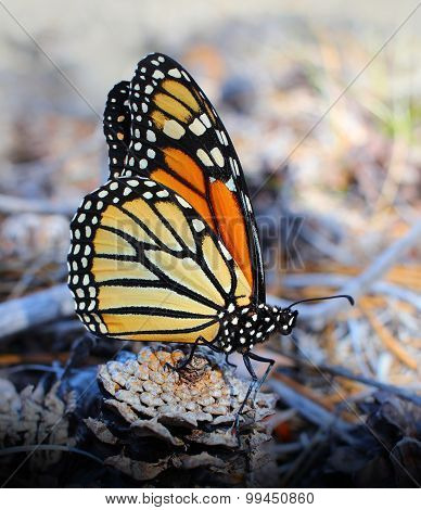 Monarch Butterfly Resting on a Pinecone
