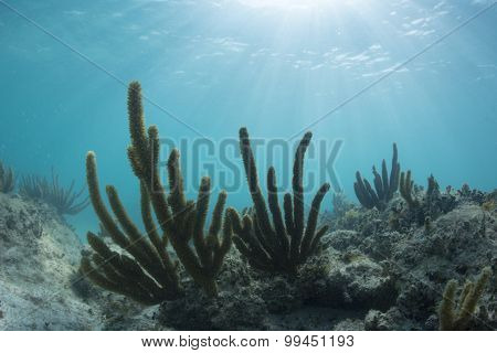 Sea Rods Growing On Underwater Reef
