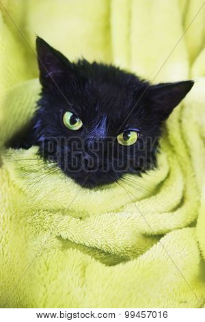 Black Cute Soggy Cat After Bath