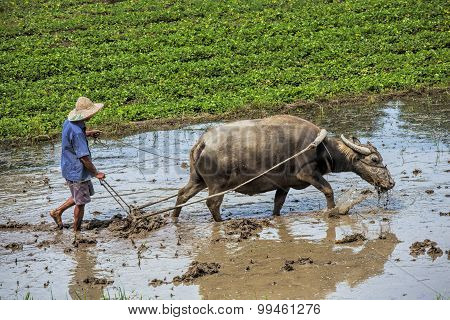 Traditional Chinese Framer Using An Ox To Plow A Field For Planting