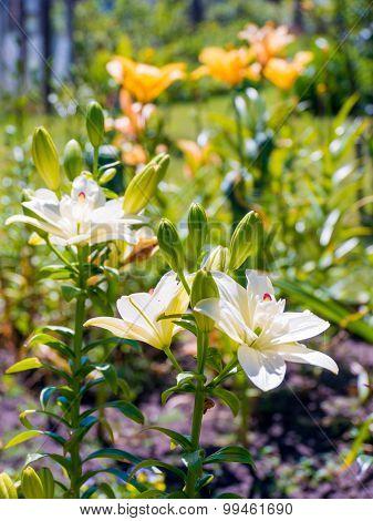 Yellow Lillies In Green Summer Garden