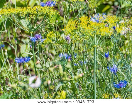 Blue And Yellow Field Flowers