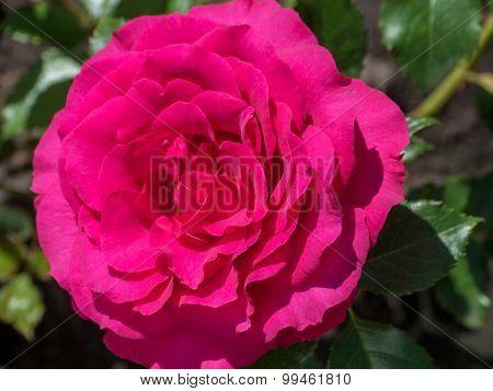 Fragrant Pink Rose In Full Bloom.