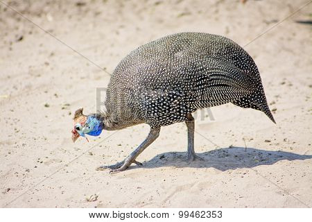 Guinea Fowl in the Sand