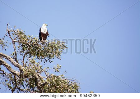 Fish Eagle Watching Out from High in a Tree