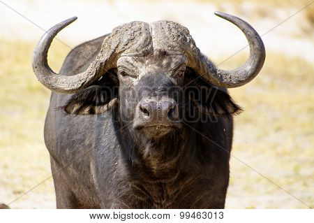 Closeup of a Buffalo Bull