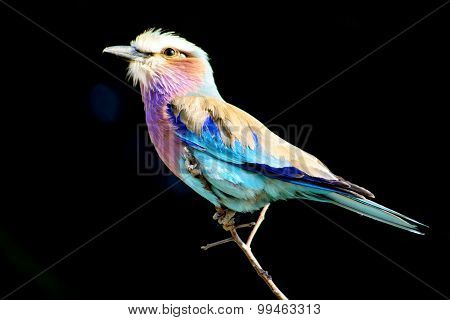 Lilac Breasted Roller Isolated on Black Background