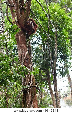 Vrouwelijke Orang Utan opknoping In een boom