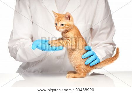 Veterinarian doctor is making a check up of a cute beautiful kitten